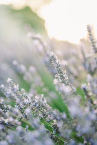 Se marier en Provence à la saison des lavandes ; quelques conseils